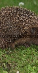 Hedgehog 2