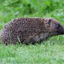 Hedgehog  (3)