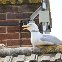 Herring Gull (2)