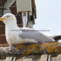 Herring Gull (3)