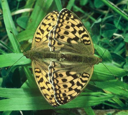 High Brown Fritillaries mating 21