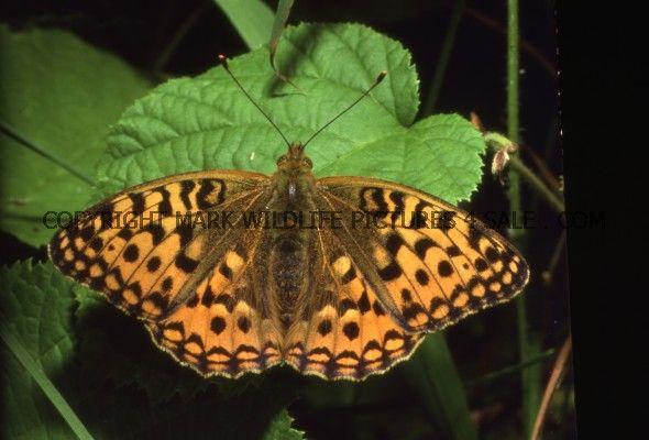 High brown fritillary 11
