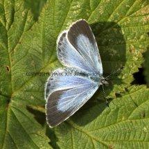 Holly Blue (1)