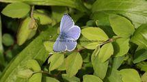 Holly Blue (4)