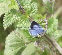 Holly Blue (2)