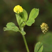 Hop Trefoil (Trifolium campestre) (1)