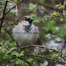 House Sparrow 1 (18)