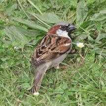 House Sparrow 1 (26)