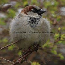 House Sparrow 1 (72)