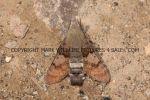 Hummingbird Hawk Moth (5)