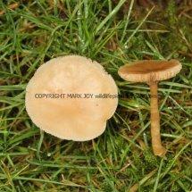 Hygrocybe chlorophana Golden Waxcap Stratford upon Avon Cemetery 21.1.2017 (1)