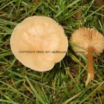 Hygrocybe chlorophana Golden Waxcap Stratford upon Avon Cemetery 21.1.2017 (2)