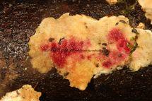 Hypomyces rosellus on underside of Stereum subtomentosum Yellowing Curtain Crust fungus Alwalton 11.2.2017 (1)