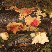 Hypomyces rosellus on underside of Stereum subtomentosum Yellowing Curtain Crust fungus Alwalton 11.2.2017 (2)