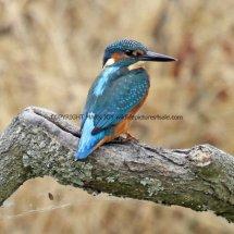 Kingfisher 9 (1)