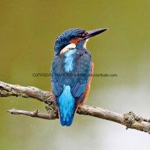 Kingfisher 9 (2)