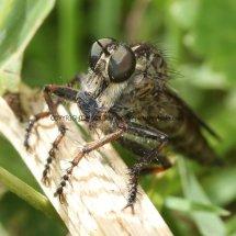 Kite-tailed Robberfly (Machimus  atricapillus) (3)