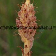 Knapweed Broomrape (2)