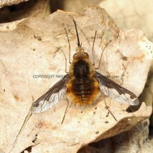 Large Bee Fly (Bombylius major) (1)