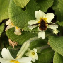 Large Bee Fly (Bombylius major) (2)