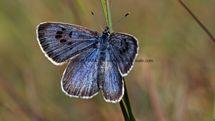 Large Blue (11)