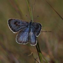Large Blue (12)