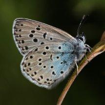 Large Blue (14)