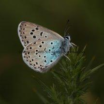 Large Blue (15)