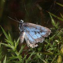 Large Blue (19)