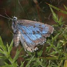 Large Blue (20)