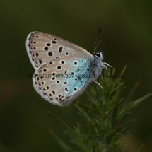 Large Blue (2)