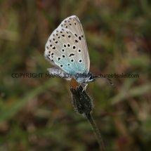 Large Blue (3)