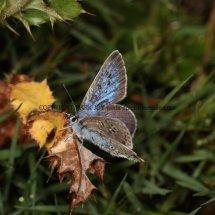 Large Blue (5)