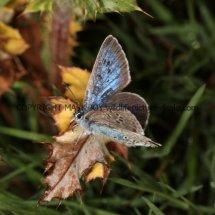 Large Blue (6)