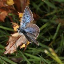 Large Blue (7)