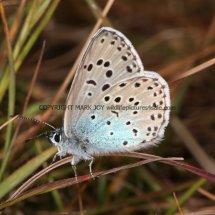 Large Blue (8)