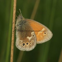 Large Heath (3)