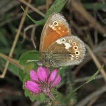 Large Heath (5)