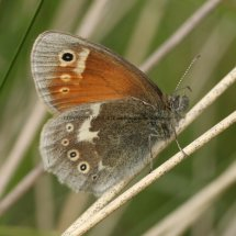 Large Heath (1)