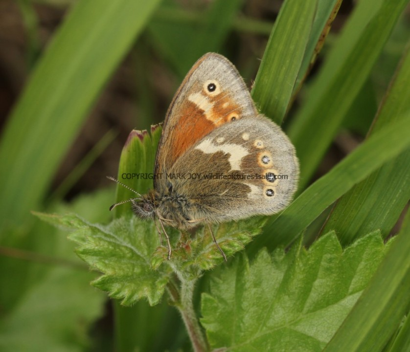Large Heath (2)