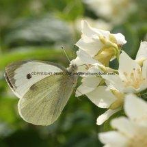 Large White (1)