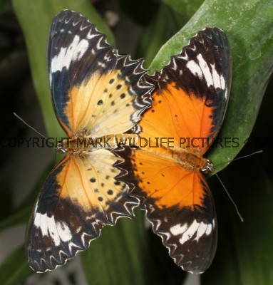 Leopard Lacewing (2)