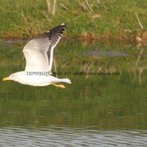 Lesser Black Backed Gull (1)