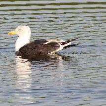 Lesser Black Backed Gull (3)