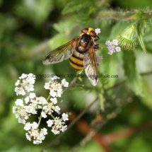 Lesser Hornet Hoverfly (Volucella inanis) (1)