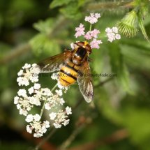 Lesser Hornet Hoverfly (Volucella inanis) (2)
