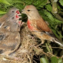 Linnet (male feeding young) (1)