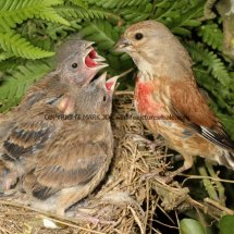 Linnet (male feeding young) (5)