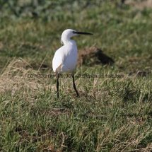 Little Egret (1)