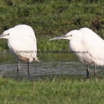 Little Egret 32 (1)